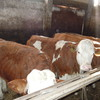 Génisses Simmental