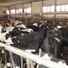 Génisses Holstein